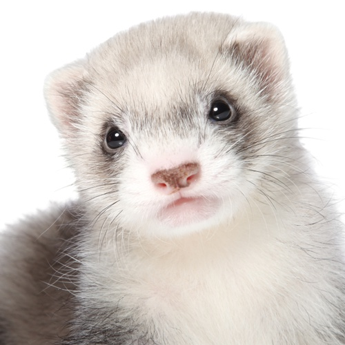 Chiped ferret