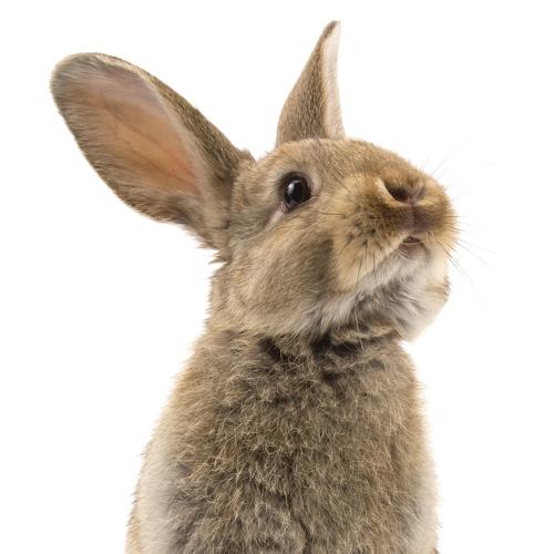 Gechiptes Kaninchen