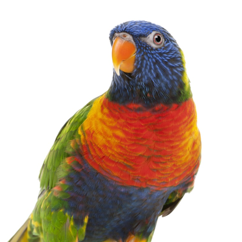 Chiped parrot